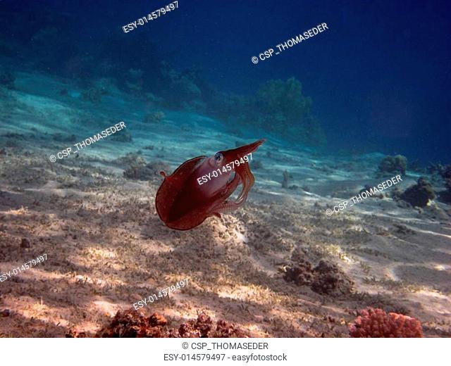 reef squid swimming