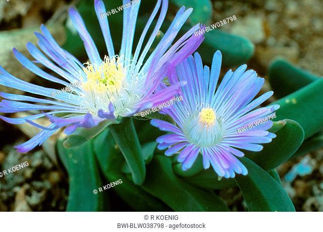 haaibekkie Gibbaeum velutinum, blooming