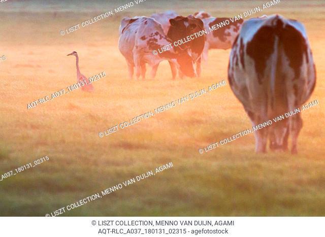 Grey Heron, Ardea cinerea in the morning light, Ardea cinerea