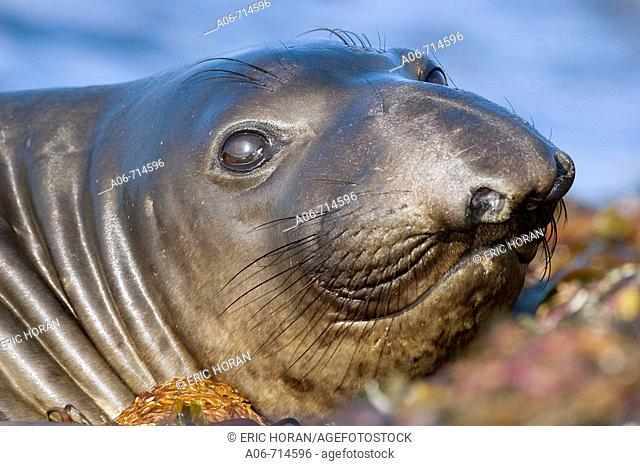 Northern elephant seal (Mirounga angustirostris). San Simeon. CA