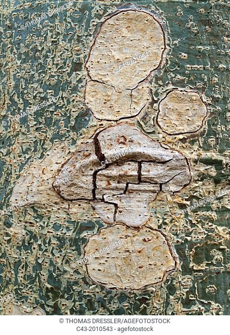 Sycomore Fig (Ficus sycomorus) - Detail of a bark. Kruger National Park, South Africa