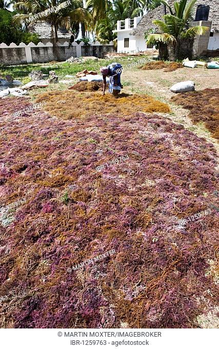 Woman working on seaweed laid out to dry, Jambiani, Zanzibar, Tanzania, Africa