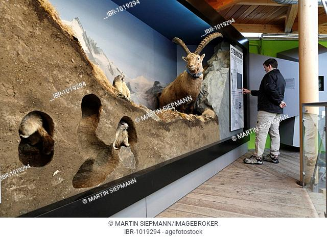 Stuffed Marmots and an Alpine Ibex at the Wilhelm Swarovsky Observatory at Kaiser-Franz-Josefs-Hoehe, Grossglockner High Alpine Road, Hohe Tauern National Park