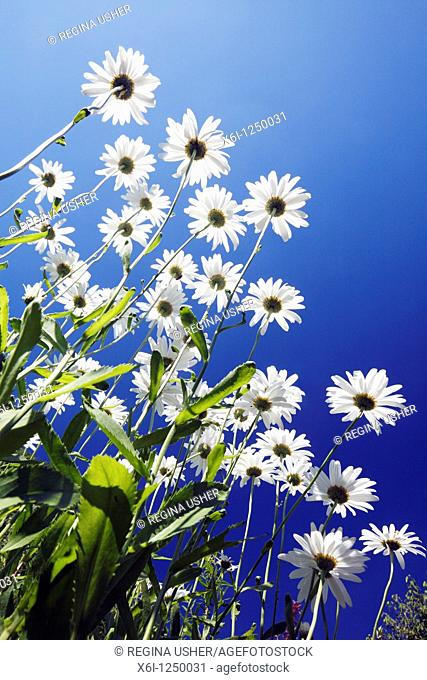 Ox-eye Daisy Leucanthemum vulgare, flowering against a blue sky, Germany