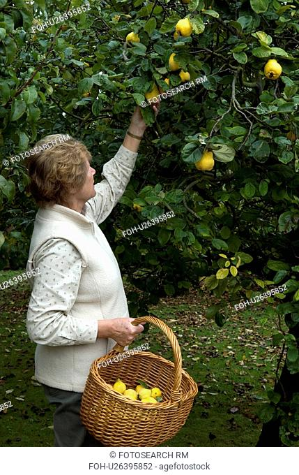 Woman picking Quinces from tree