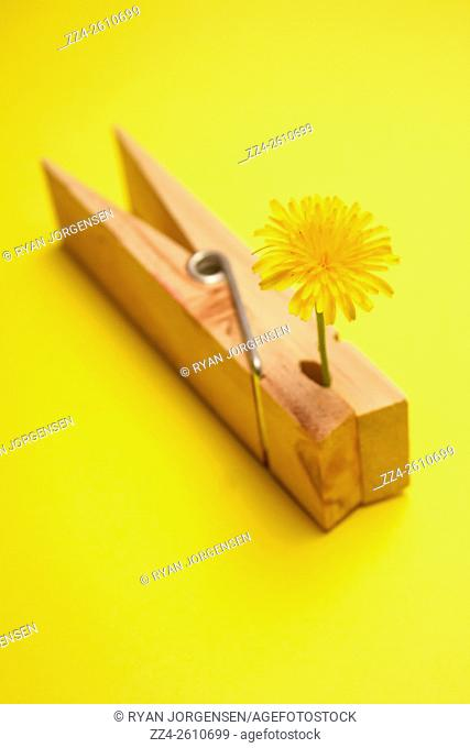 Peg clipped to small common flower on bright yellow background. Stuck on summer