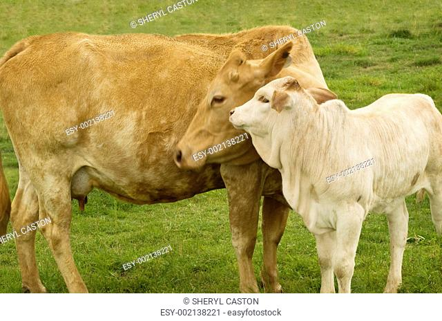 charolais cow with baby calf - spring time mother love