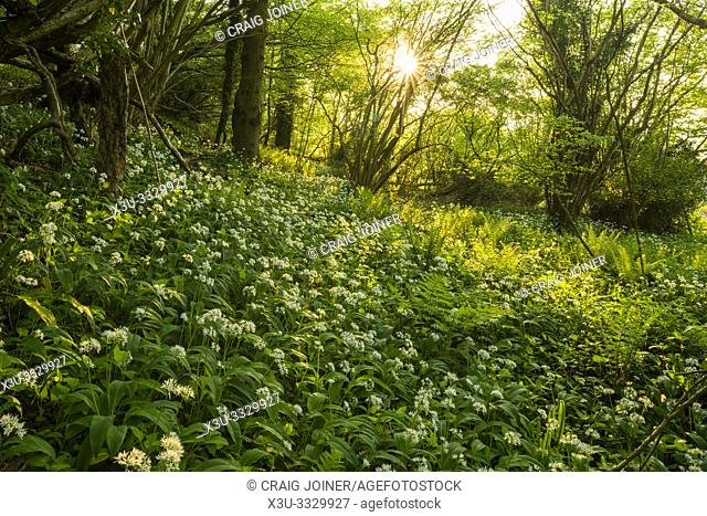 Ramsons, or Wild Garlic, (Allium ursinum) in flower at Priors Wood, Portbury, North Somerset, England