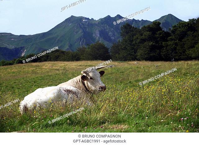 FERRANDAISE COW IN A MEADOW, AUVERGNE REGIONAL NATURAL PARK OF VOLCANOS, PUY-DE-DOME 63, AUVERGNE, FRANCE