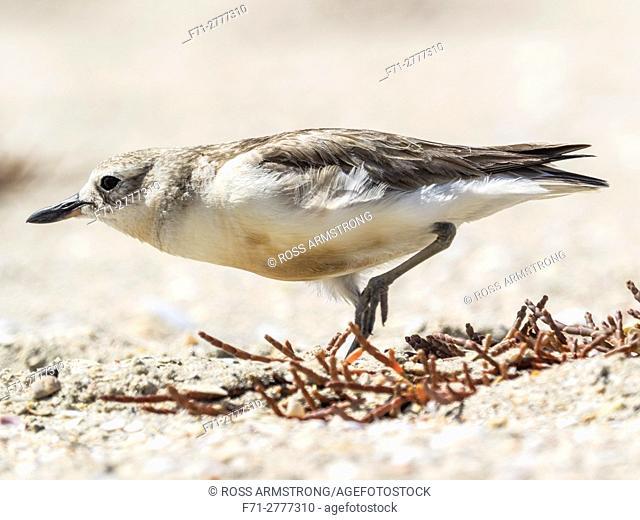New Zealand dotterel Charadrius obscurus is an endangered bird species endemic to New Zealand Waipu Wildlife Refuge, Waipu, Northland, New Zealand