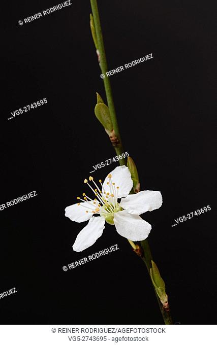 Prunus avium twig flowering in spring, taken in Berlin, Germany