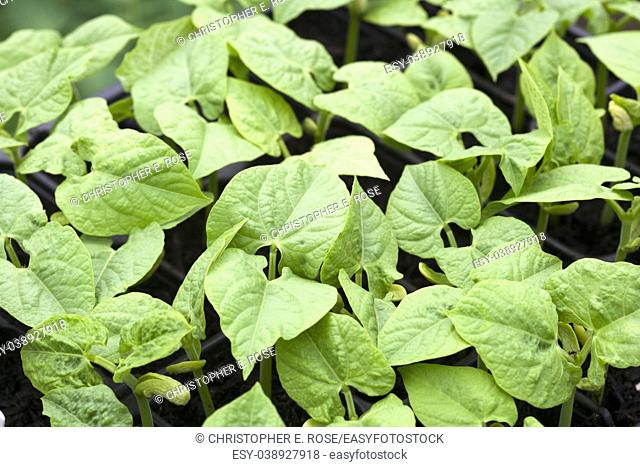 Young bean plants growing in a tray in a greenhouse