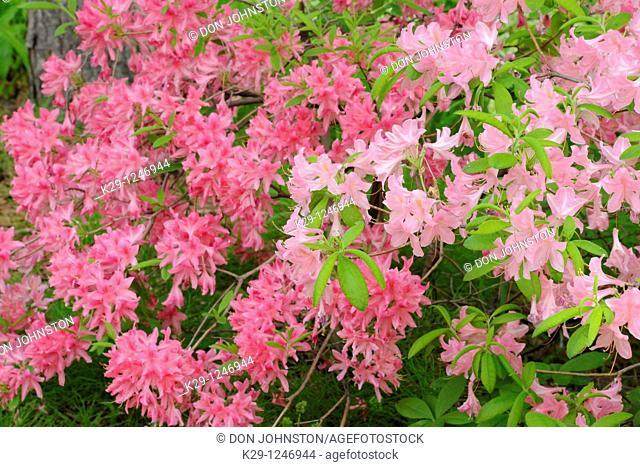 Northern Lights Azalea Rhododendron 'Northern Lights'
