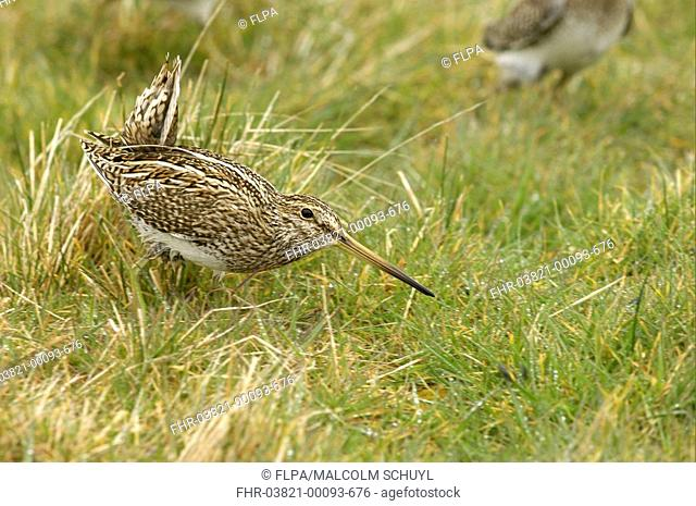 Magellanic Snipe Gallinago paraguaiae magellanica adult, in courtship display, Sea Lion Island, Falkland Islands