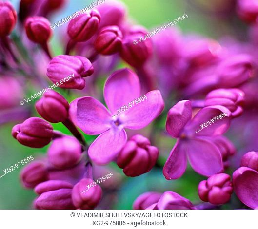 A twig of blooming lilacs (Syringa Vulgaris)