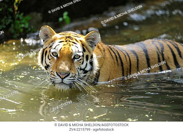 Close-up of a Siberian tiger or Amur tiger (Panthera tigris altaica) in a little pond in spring