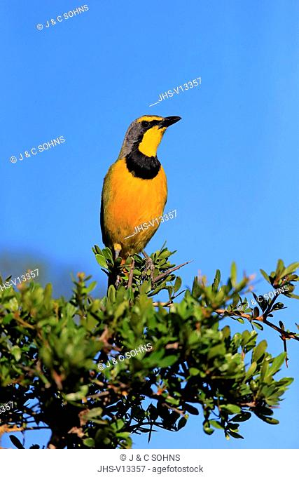Yellow-Throated Longclaw, (Macronyx croceus), adult on branch alert, Addo Elephant Nationalpark, Eastern Cape, South Africa, Africa