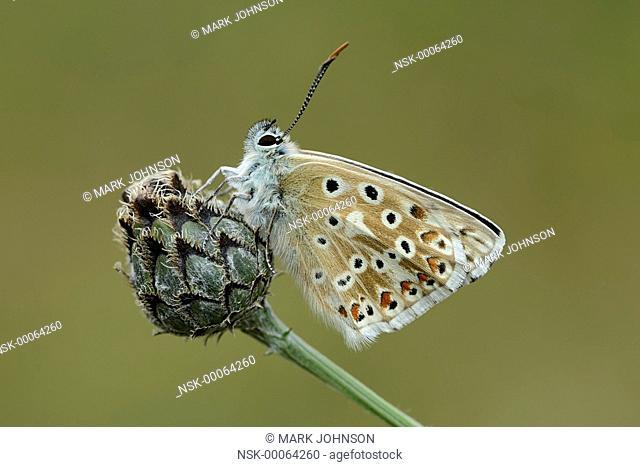 Chalkhill Blue (Polyommatus coridon) resting on a knapweed, England, Cambridgeshire, Devil's Dyke