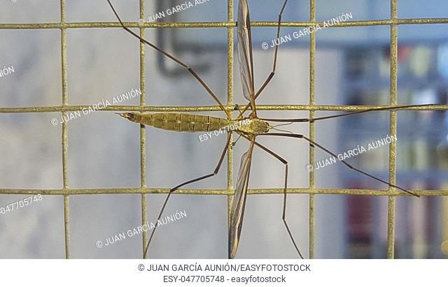 Crane fly, commonly mistaken as dangerous mosquito. Perched on wire fence