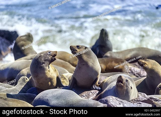 Namibia, Africa. Seals on the beach at Cape Cross, Skeleton Coast