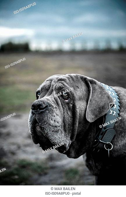 Close up portrait of large grey dog