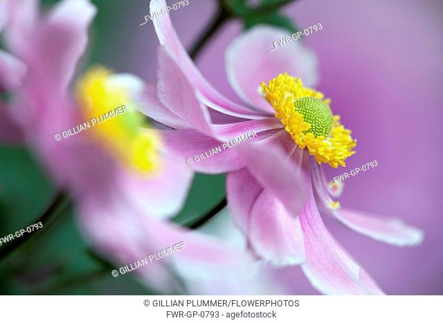 Japanese anemone, Anemone x hybrida 'Serenade', Close cropped, side view of one pink flower fully open to show yellow stamen inside