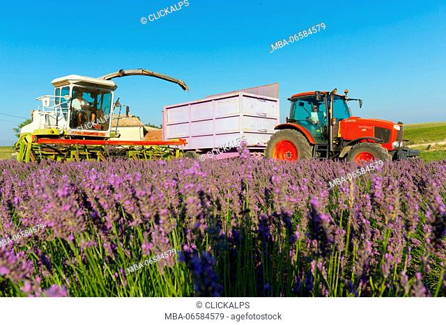 Europe, France, Provence Alpes Cote d'Azur, Plateau of Valensole, Workers begin harvesting first rows of lavender