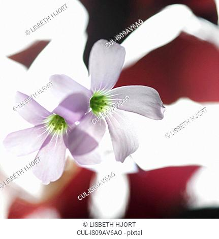 Transparent purple flowers and burgundy red leaves