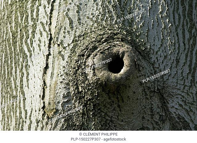 Pruning scar offering nesting cavity in European beech / Common beech tree trunk (Fagus sylvatica)