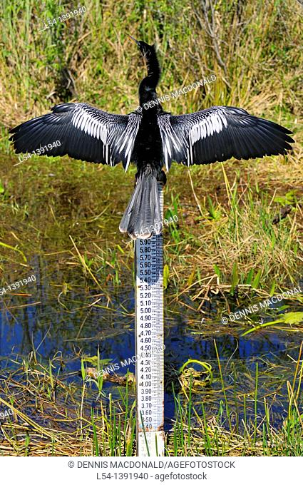 Male Anhinga Trail Everglades National Park FL US Wildlife Eco System Nature