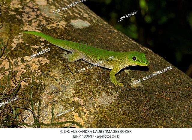 Koch's giant day gecko (Phelsuma kochi) on tree trunk, Ankarafantsika National Park, Western Madagascar, Madagascar