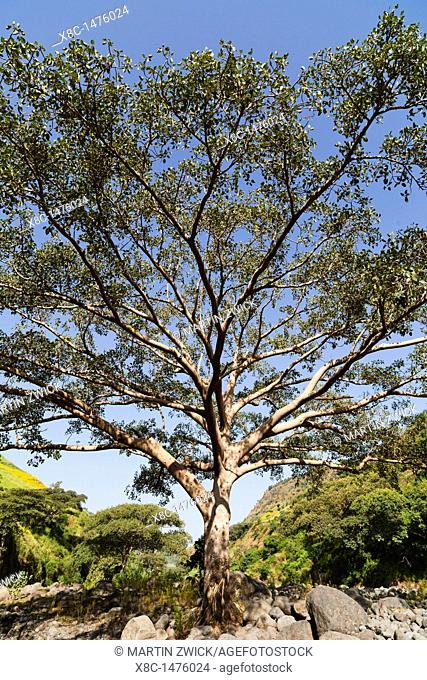 Fig Tree near the escarpment of the Simien Mountains close to the Simien Mts  National Park near the village of Mekarebya at an elevation of about 2100m during...