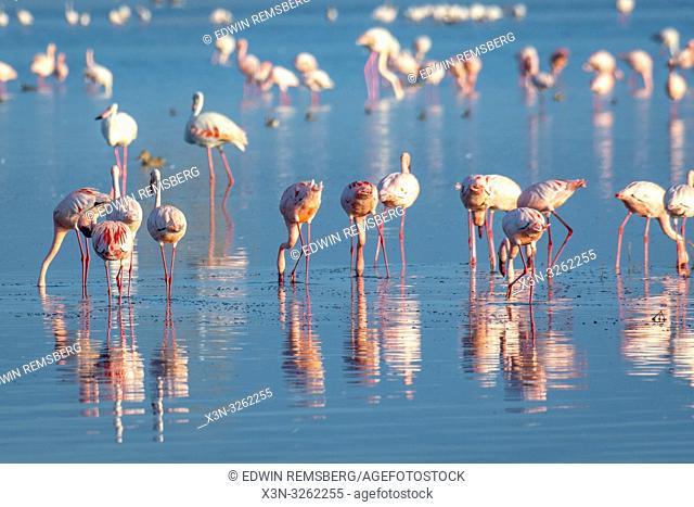 Lesser flamingo (Phoeniconaias minor)Lake Nakuru, Kenya