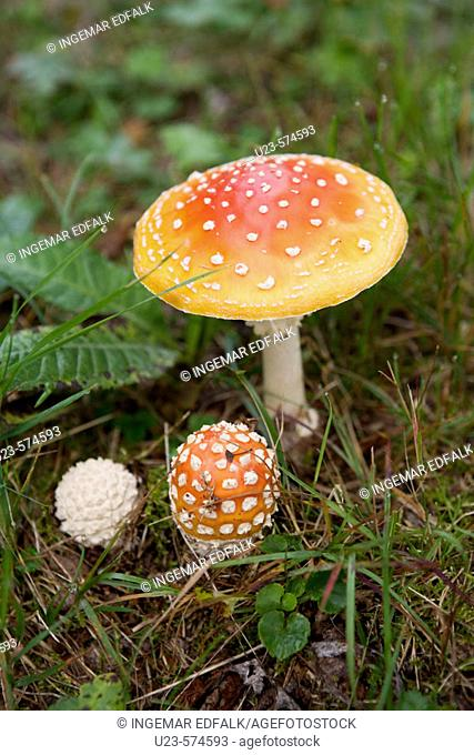 Fly agaric or death cap. A deadly poisonous mushroom. Sweden