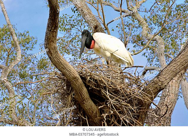 Brazil, Pantanal, black-necked stork, Jabiru mycteria, tree, nest