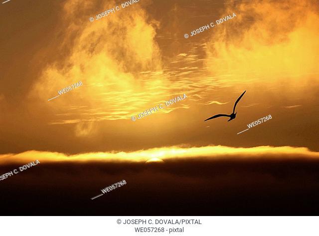 Pacific seagull flying into sunset, San Simeon. California, USA