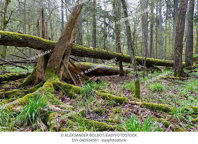 Large broken tree lying in spring forest and old broken stump in foreground moss wrapped, Bialowieza Forest, Poland, Europe