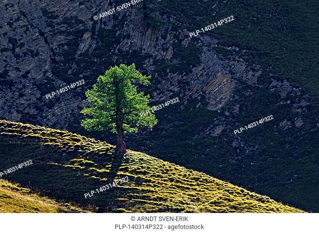 Common larch / European larch (Larix decidua) single tree growing on mountain slope in the Alpine mountains, Alps