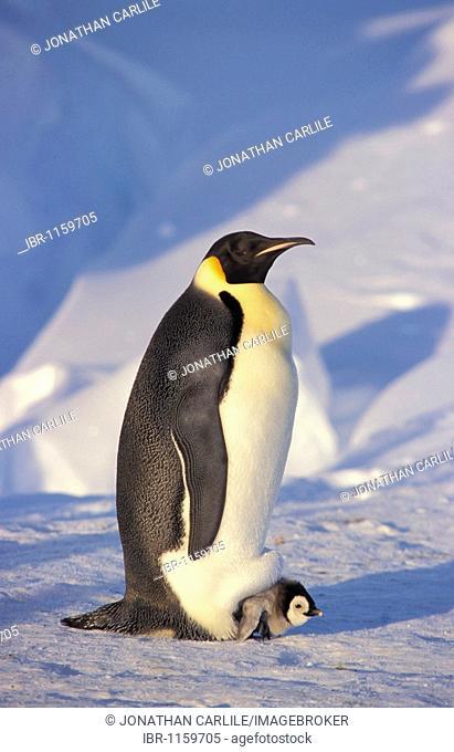 Emperor penguin (Aptenodytes forsteri) with chick, Dawson-Lambton Glacier, Antarctica