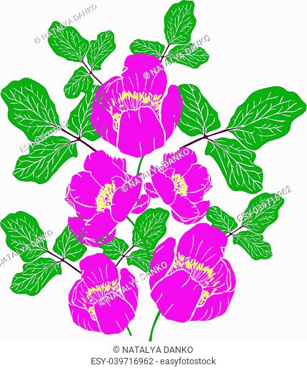 painted pink peony of a Crimean or peony taurian and green twig with leaves isolated on a white background