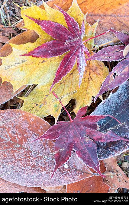 Blätter mit Eiskristallen auf einer Wiese leaves with diamond dust on a meadow