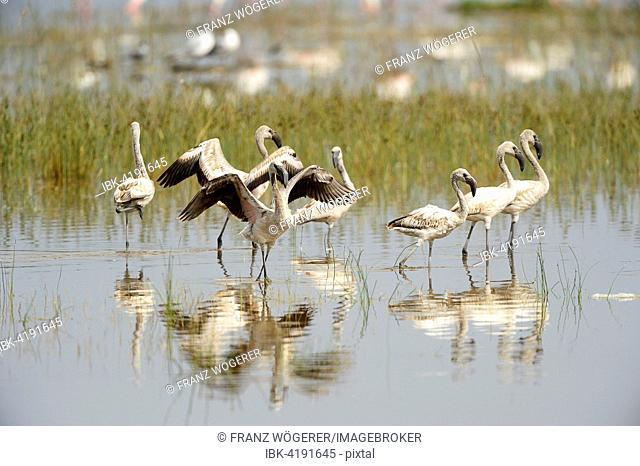 Greater Flamingos (Phoenicopterus roseus), group of young birds, Lake Nakuru National Park, Kenya