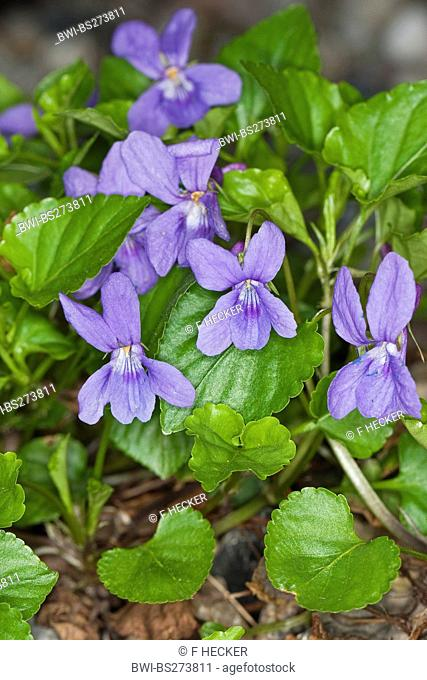 early dog-violet Viola reichenbachiana, blooming, Germany