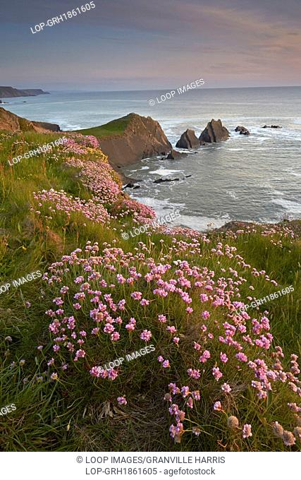 Pink thrift flowering on cliffs above Hartland Quay with Screda Point in the distance