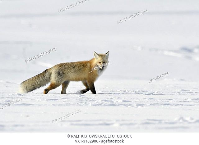 American Red Fox ( Vulpes vulpes ) in winter, running through snow, watching, Yellowstone NP, Wyoming, USA.