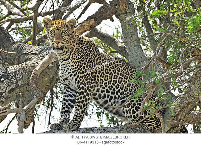 African Leopard (Panthera pardus pardus) sitting on the branch of a tree, Masai Mara National Reserve, Kenya