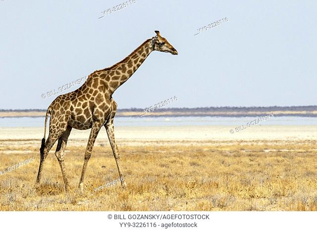 Giraffe walking near Etosha Pan, Etosha National Park, Namibia, Africa