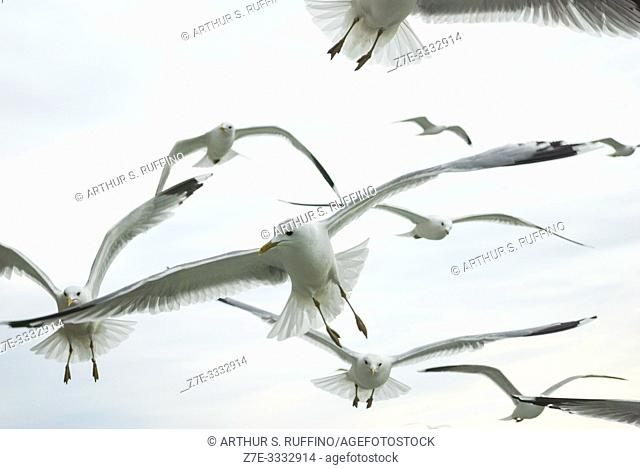 Gulls flying across the sky in search of food as they follow a cruise ship leaving a port