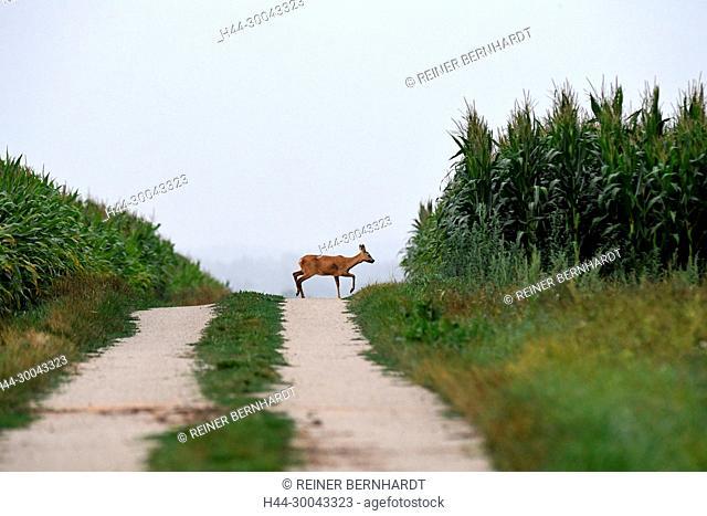 Capreolus capreolus, local animals, endemic animals, field roe deer, corn fields with roe deer, corn fields with Ricke, nature, cloven-hoofed animal, roe deer