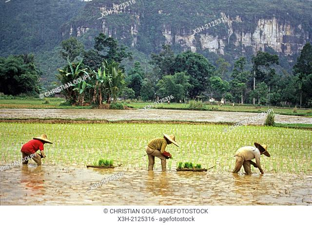 transplanting rice at Harau valley in Minang country, Sumatra island, Republic of Indonesia, Southeast Asia and Oceania